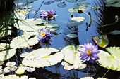 stock photo of day-lilies  - Large pond overgrown with flowering water lilies - JPG