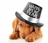 stock photo of scared baby  - Shy puppy wearing a Happy New Year top hat - JPG