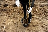 picture of afforestation  - A bucket with saplings waiting to be planted during afforestation - JPG