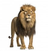 stock photo of carnivores  - Lion standing - JPG