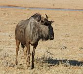 stock photo of semi-arid  - Blue wildebeest  - JPG