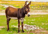 stock photo of wild donkey  - Donkey Farm Animal brown color standing on field grass  - JPG