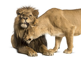 picture of soulmate  - Lion and lioness cuddling - JPG