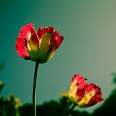 image of opium  - The pink opium flower in retro style  - JPG