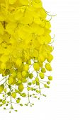 picture of cassia  - Cassia fistula flower  isolated on white background   - JPG