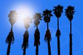 picture of washingtonia  - california palm trees washingtonia western surf flavour in US - JPG