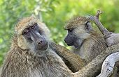 picture of omnivores  - Baboons in the natural habitat - JPG