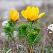 stock photo of adonis  - The Yellow flowers of Adonis (Adonis vernalis)