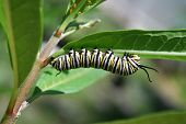 foto of larva  - Beautiful fat striped larva crawls beneath leaf - JPG