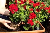 image of geranium  - A geranium is planted in a flower box - JPG