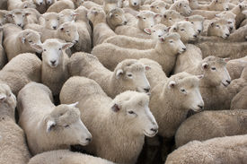image of yard sale  - Sheep in crowded pens at the sale yards in Feilding - JPG