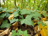 pic of english ivy  - English Ivy - JPG