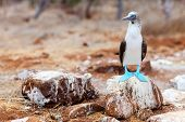 picture of booby  - Blue footed booby at Galapagos island of  North Seymour - JPG