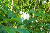 stock photo of plumeria flower  - Beautiful white flowers and fresh name Plumeria Pudica Endurance is excellent all year flower breeding is so easy. The area is very beautiful flowers. ** Note: Soft Focus at 100%, best at smaller sizes - JPG