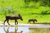stock photo of tusks  - Warthogs near a water hole  in Tarangire national park in Tanzania - JPG