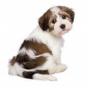stock photo of spotted dog  - Cute Bichon Havanese puppy dog is sitting and looking at camera  - JPG