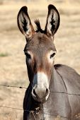 picture of headstrong  - Funny donkey looking at camera behind a fence - JPG