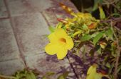 picture of trumpet flower  - Beautiful yellow flower Golden trumpet vine Yellow bell  - JPG