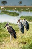 stock photo of sub-saharan  - Marabou Storks standing in the short grass by the water at Lake Nakuru in Kenya - JPG