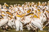 image of flogging  - Many pelicans sitting lying standing in the green grass next to the water by Lake Nakuru in Kenya - JPG