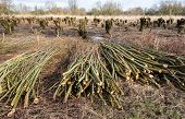pic of willow  - Bundled willow branches in the foreground and in the background the pollarded willows in a Dutch nature reserve - JPG