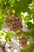 stock photo of grape-vine  - Close up of ripening green and blue grapes on vine - JPG