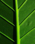 picture of leafy  - Cropped big tropical leaf - JPG