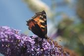 stock photo of butterfly-bush  - This is Buddleia - JPG