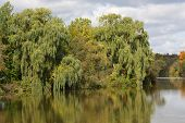 foto of weeping willow tree  - large willow trees along shoreline of lake in early fall - JPG