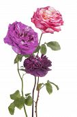 stock photo of purple rose  - Studio Shot of Purple and Pink Colored Rose Flowers Isolated on White Background - JPG