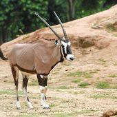stock photo of buck  - Animal  - JPG
