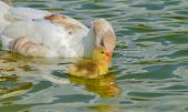 foto of mother goose  - Mother goose and baby goose swimming together - JPG