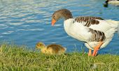 picture of mother goose  - Mother and baby goose walking near lake - JPG