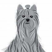 picture of yorkshire terrier  - Dog yorkshire terrier vector portrait of a Domestic Dog - JPG