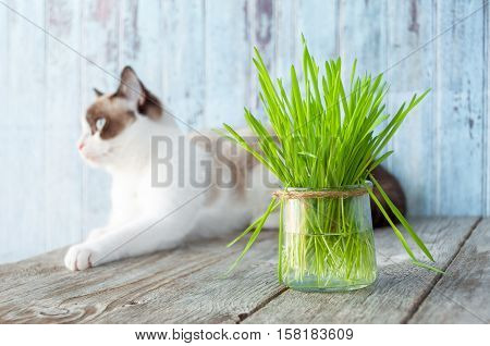 poster of Beautiful cat with feline grass. Cat Grass for cat health. Pet grass. Natural hairball treatment.