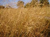 picture of dry grass  - Dried grass - JPG