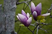 foto of japanese magnolia  - Two japanese magnolia blossoms with the tree in the background - JPG