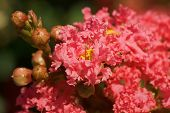 stock photo of crepe myrtle  - Pretty pink blossoms on a crepe myrtle tree - JPG
