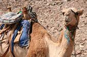 Постер, плакат: Верблюд в Египте