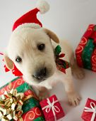 stock photo of christmas puppy  - Merry Christmas  - JPG