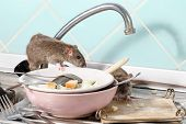 Two Young Rats (rattus) Near The Water Faucet And Dishes With The Leftovers Of Food On A Plate On Si poster