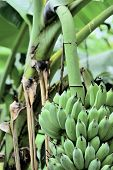 Growth Of Bananas In The Botanical Garden. In The Botanical Garden There Are Many Kinds Of Genetics. poster
