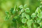 stock photo of oregano  - fresh green oregano close up - JPG