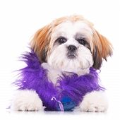 picture of pimp  - adorable shih tzu puppy dressed like a pimp sitting on white background - JPG