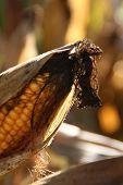 stock photo of biogas  - a corn cob in a corn field - JPG