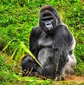 picture of male-domination  - An HDR image of a male silver back gorilla sitting holding a piece of vegetation - JPG
