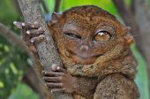stock photo of eye-wink  - Lovely Tarsier winking with one eye - JPG