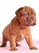 pic of dogue de bordeaux  - Charming Dogue De Bordeaux puppy is standing - JPG