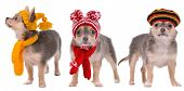 foto of rastaman  - Three chihuahua puppies dressed in Winter and Autumn Clothes isolated on white background - JPG