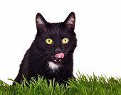 stock photo of catnip  - Black kitten hunting sitting behing green grass isolated on white background - JPG